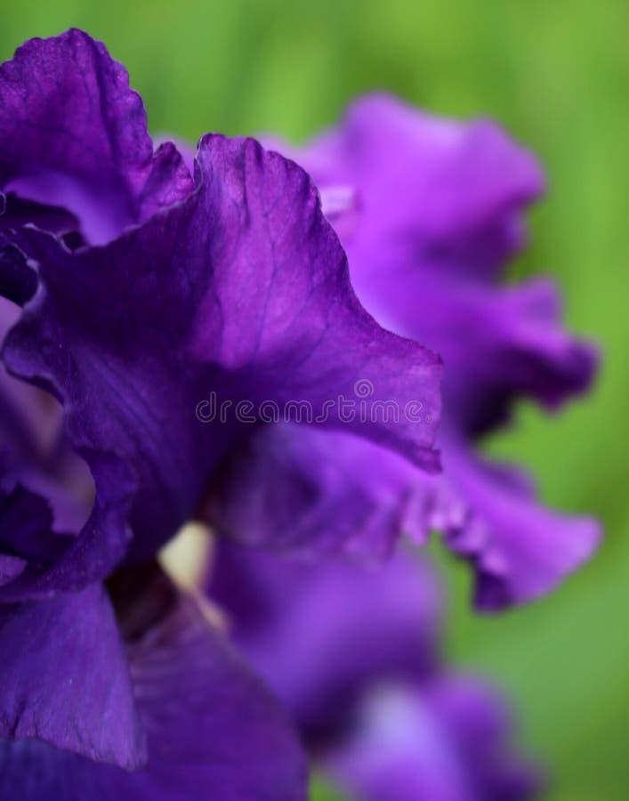 透明和被弄脏的有胡子的紫色虹膜瓣 库存图片
