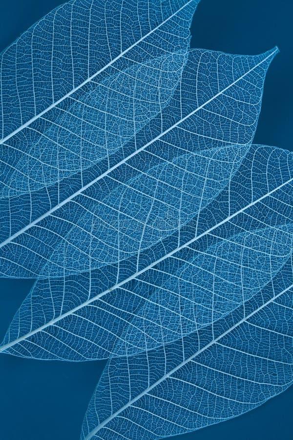 透明干燥的叶子 库存照片