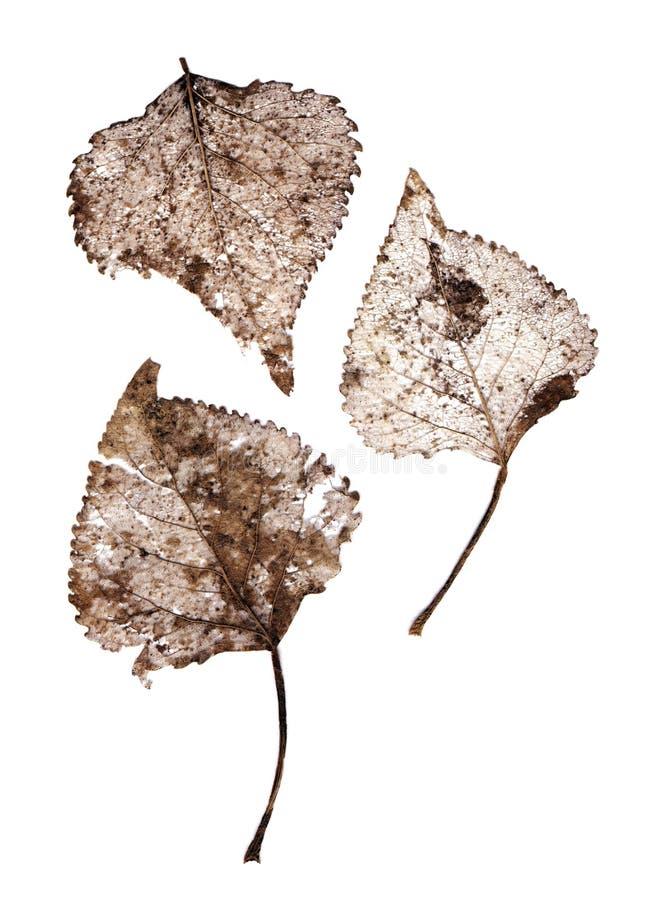 透明干燥的叶子 库存图片
