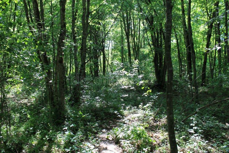 透明森林 免版税库存照片
