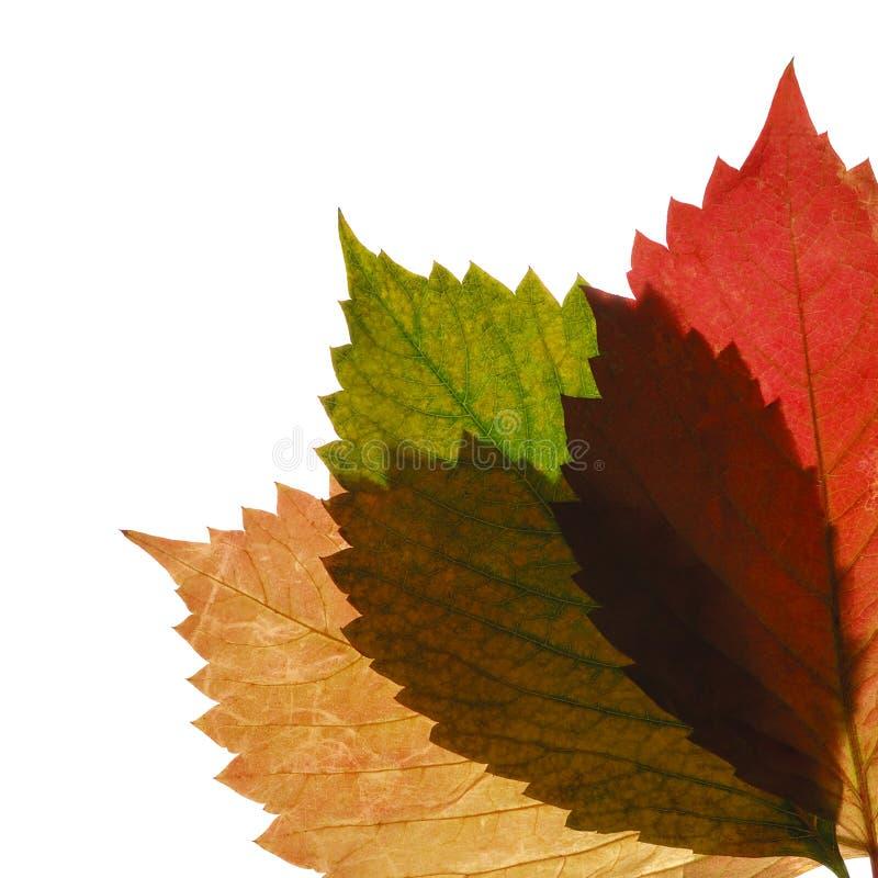 透明秋天的叶子三 库存照片