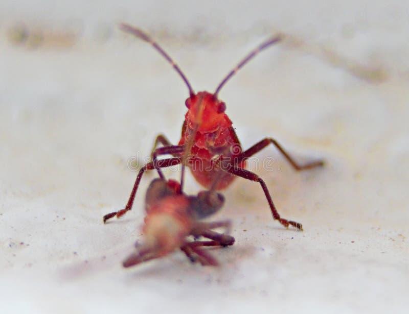 透明红色臭虫宏指令在南非 库存照片