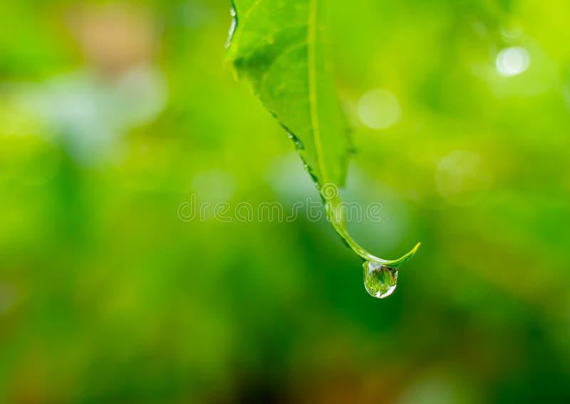 透明雨水美好的下落在绿色叶子宏指令的 露水许多下落在早晨在太阳 美好的叶子纹理 免版税库存图片