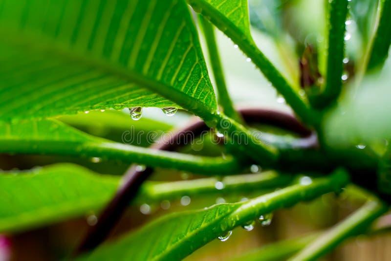 透明雨水美好的下落在绿色叶子宏指令的 露水许多下落在早晨在太阳 美好的叶子纹理 库存照片