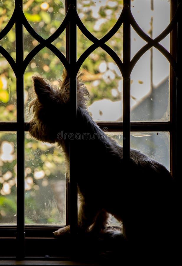 透过窗户望向外面的阳光的小狗 库存图片