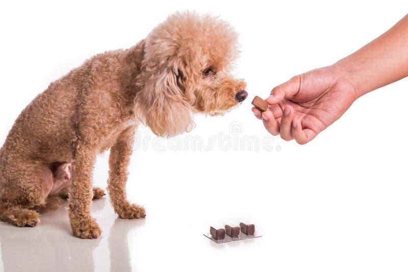 递与耐咀嚼的哺养的爱犬保护免受heartworm 库存照片
