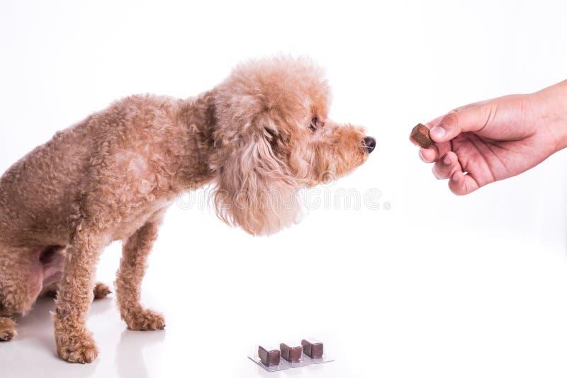 递与耐咀嚼的哺养的爱犬保护免受heartworm 库存图片