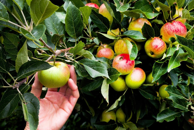 递从一棵苹果树的采摘苹果与许多苹果 图库摄影