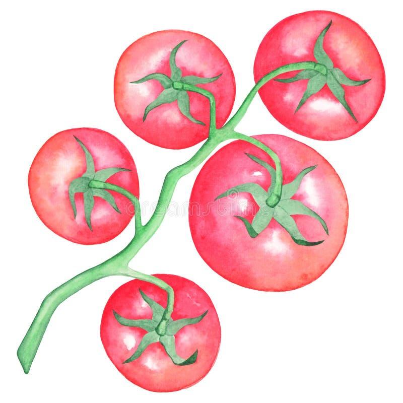 递凹道在分支的红色蕃茄,分别地,白色背景 额嘴装饰飞行例证图象其纸部分燕子水彩 免版税库存照片