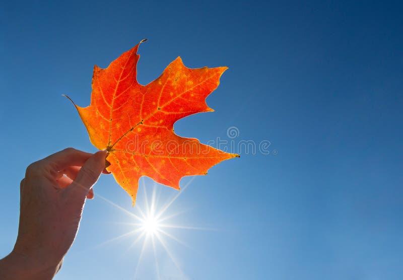 递拿着一片红槭叶子反对蓝天 库存照片