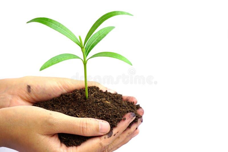 递拿着在白色背景隔绝的土壤的绿色植物 免版税库存图片