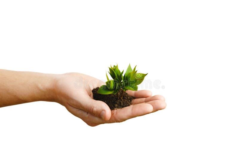 递拿着小年幼植物,在白色bac隔绝的年轻树 免版税库存照片