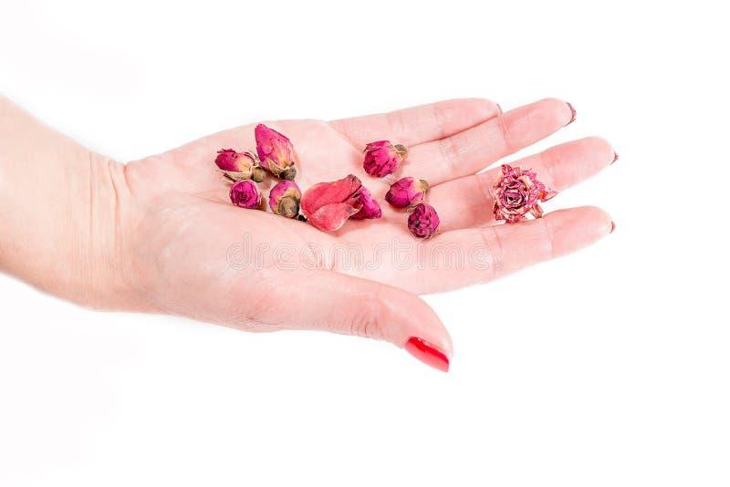 递握桃红色玫瑰芽,温泉题材 库存图片