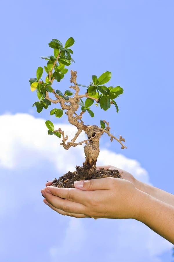 递棕榈树 免版税库存图片