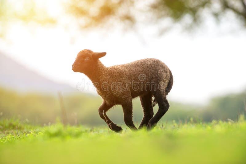 逗人喜爱和一点黑羊羔赛跑 库存照片
