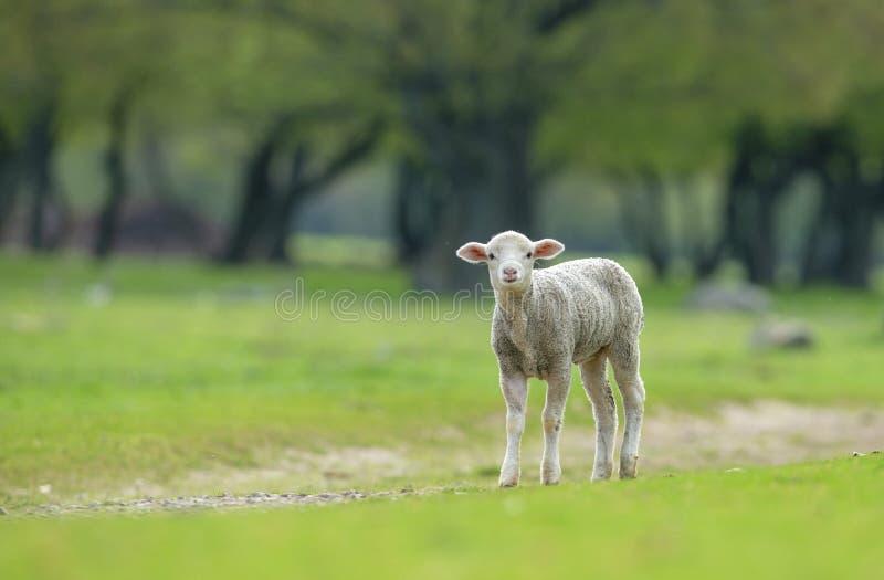 逗人喜爱和在草甸的一点羊羔 库存照片