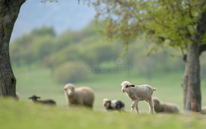 逗人喜爱和在草甸的一点羊羔 免版税库存图片