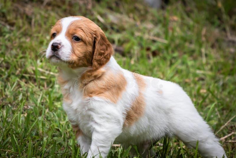 逗人喜爱和好奇棕色和白色布里坦尼西班牙猎狗小狗,小狗画象探索 图库摄影
