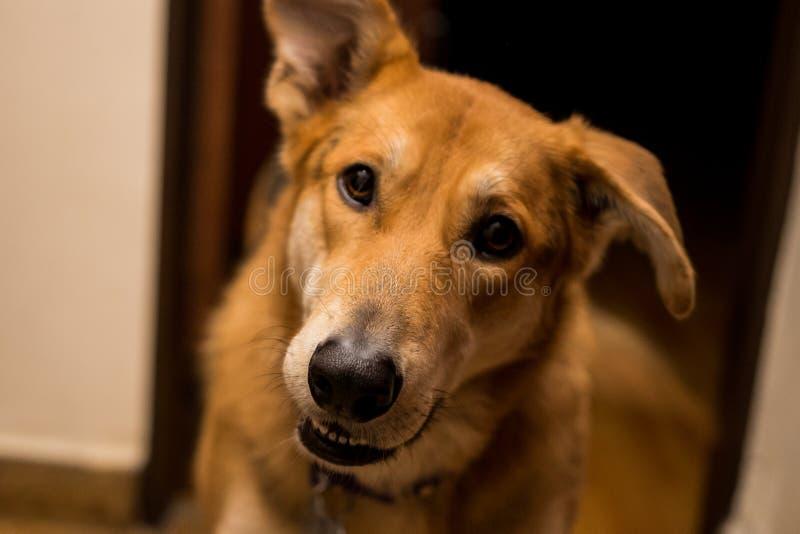 逗人喜爱和好奇白肤金发的狗 免版税库存照片