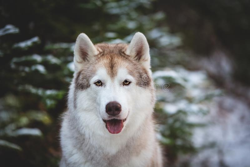 逗人喜爱和愉快的西伯利亚爱斯基摩人狗特写镜头画象坐在冷杉木前面的雪在冬天森林里 免版税图库摄影