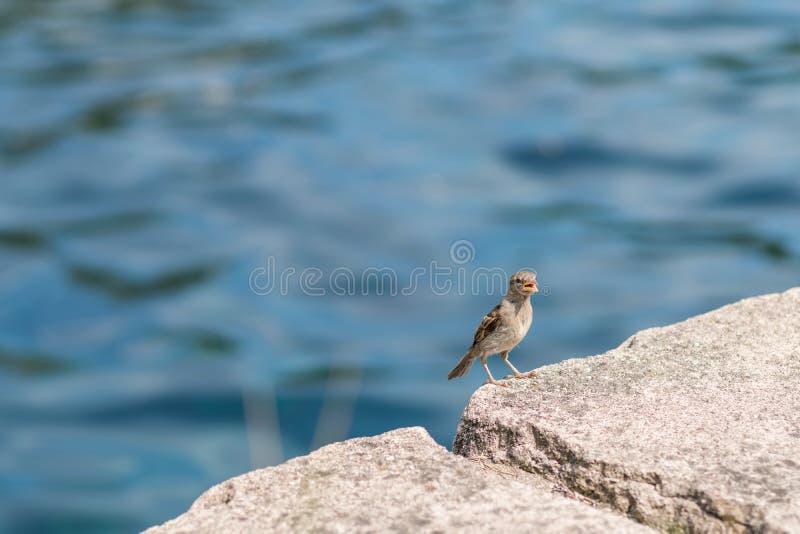 逗人喜爱在石头的一点麻雀在白天坐并且叫 库存照片