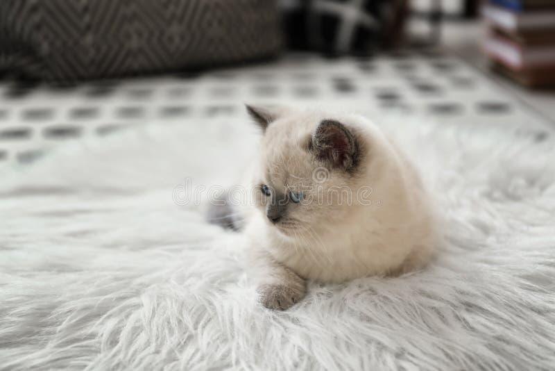 逗人喜爱在蓬松格子花呢披肩的一点小猫在家 库存照片