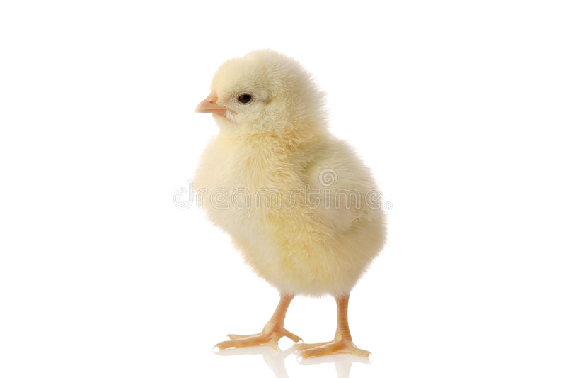逗人喜爱婴孩的鸡一点 免版税库存图片