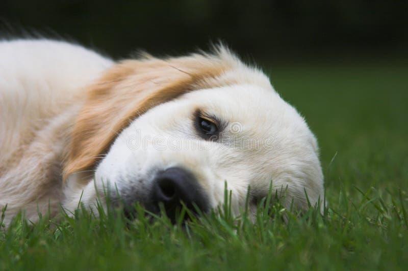 逗人喜爱小狗休眠 库存照片