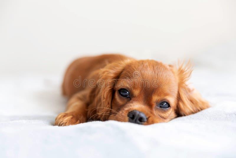 逗人喜爱小狗放松 库存照片