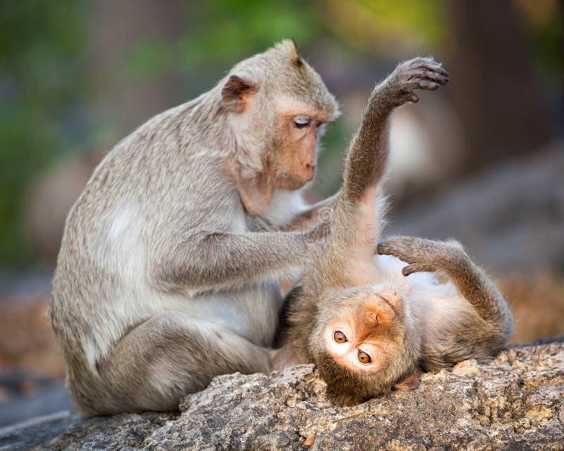 逗人喜爱猴子的家庭 库存图片