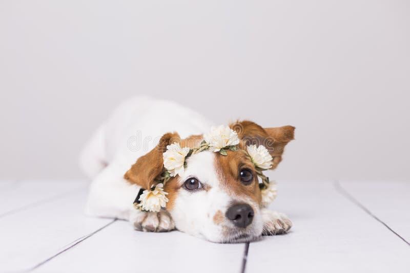 逗人喜爱白色和棕色小狗佩带白花加冠在白色背景 户内 对动物概念的爱 生活方式 库存图片
