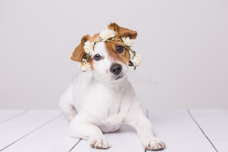 逗人喜爱白色和棕色小狗佩带白花加冠ove 免版税库存照片