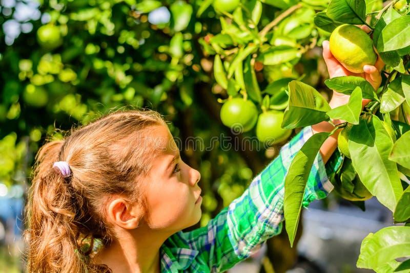 逗人喜爱的七岁的女孩采摘柑桔 库存照片