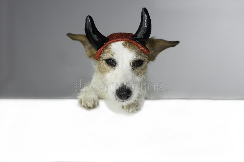 逗人喜爱的万圣夜恶魔杰克罗素狗,举行一个空白的空的禁令 库存图片