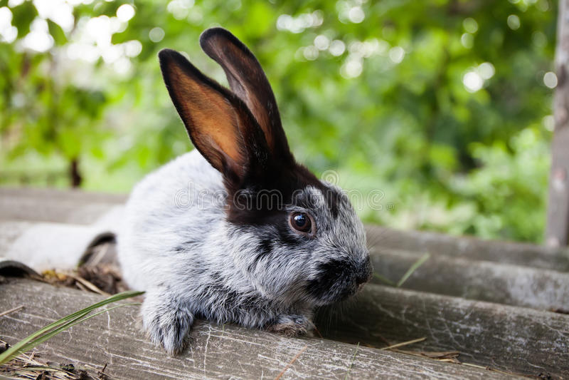 逗人喜爱的兔子滑稽的面孔,在石背景的蓬松灰色黑兔宝宝 软的焦点,浅景深 库存照片