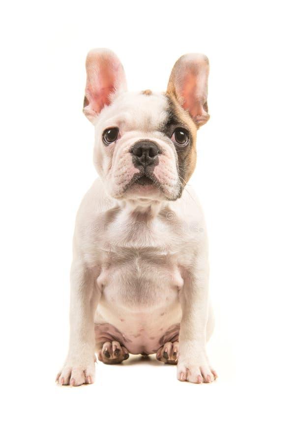 逗人喜爱的几乎白色法国牛头犬小狗直接看从前面看见的照相机被隔绝坐一白色backgroun 免版税库存图片