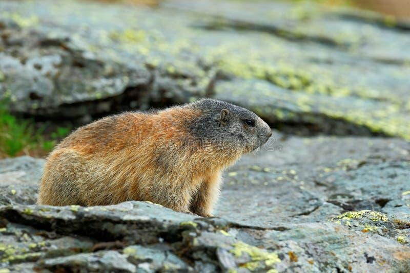 逗人喜爱的动物土拨鼠,早獭早獭,坐石头,在自然岩石栖所,大格洛克纳山,阿尔卑斯,奥地利, 库存照片