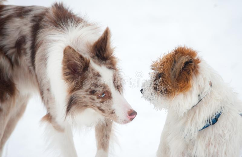 逗人喜爱的博德牧羊犬遇见起重器罗素狗 免版税图库摄影