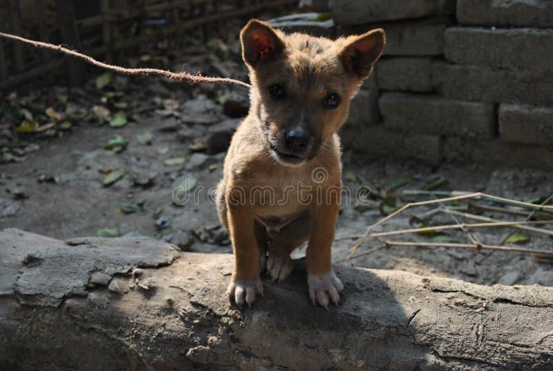 逗人喜爱的印地安小狗 库存照片