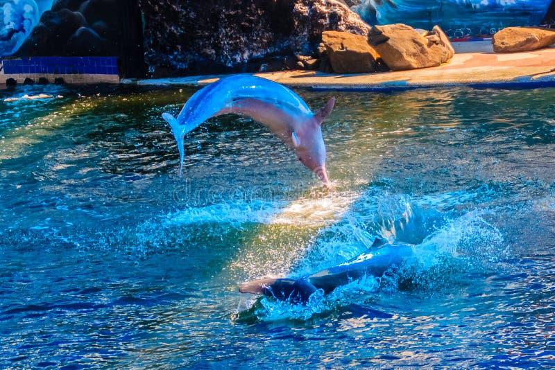 逗人喜爱的印度-太平洋驼背海豚(中华的Sousa),或者桃红色 库存照片