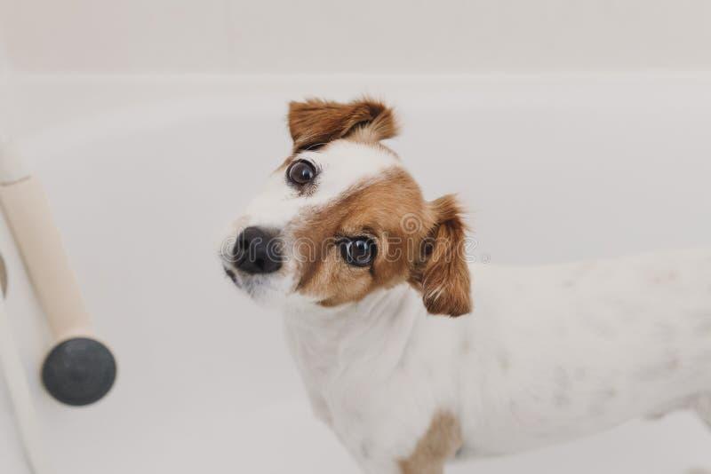 逗人喜爱的可爱的小狗湿在浴缸 得到她的狗的年轻女人所有者在家清洗 o 免版税图库摄影