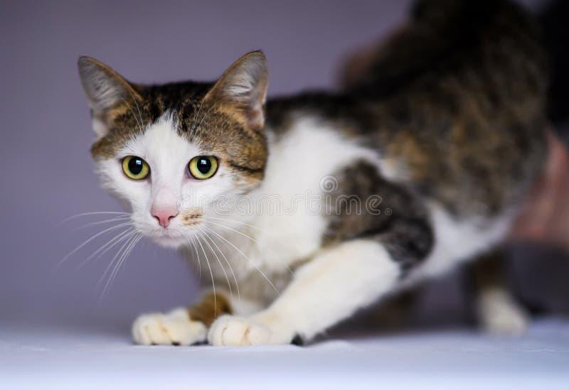 逗人喜爱的可爱的猫 免版税库存图片