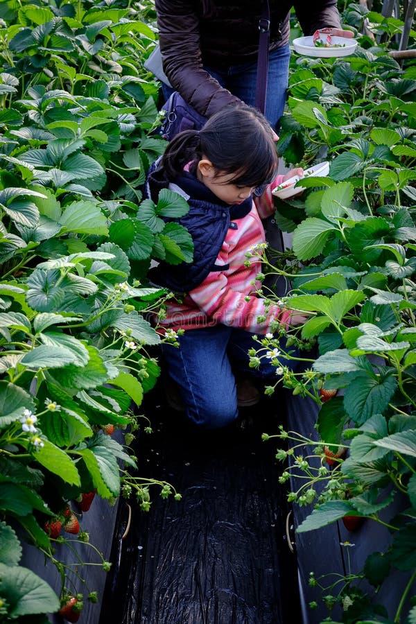 逗人喜爱的吃草莓的孩子亚裔女孩围拢由草莓树用新鲜的草莓果子在草莓采摘农场 免版税图库摄影