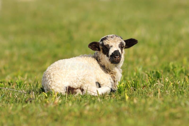 逗人喜爱的呈杂色的羊羔 库存图片