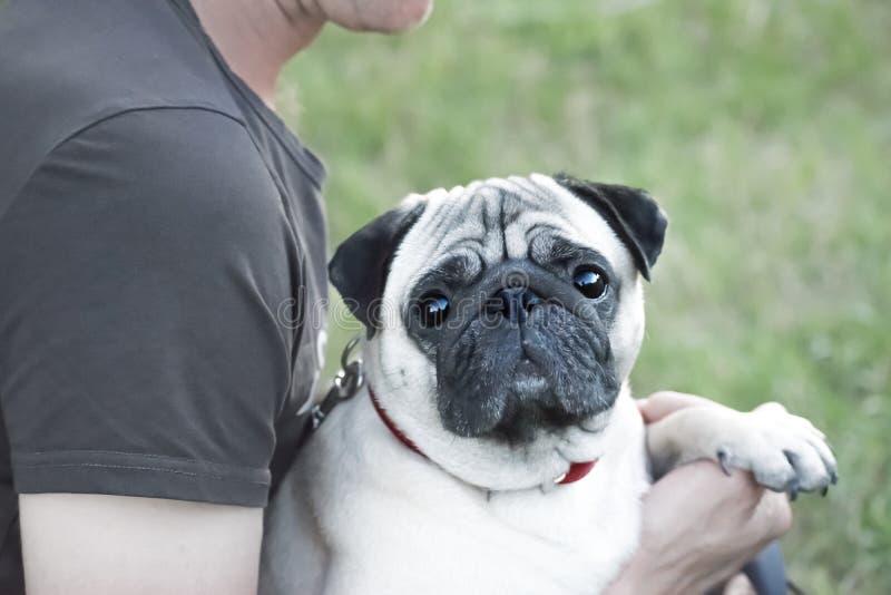 逗人喜爱的哈巴狗狗坐所有者的手 库存照片