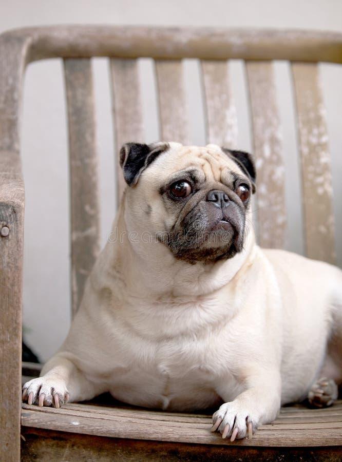 逗人喜爱的哈巴狗狗 库存图片