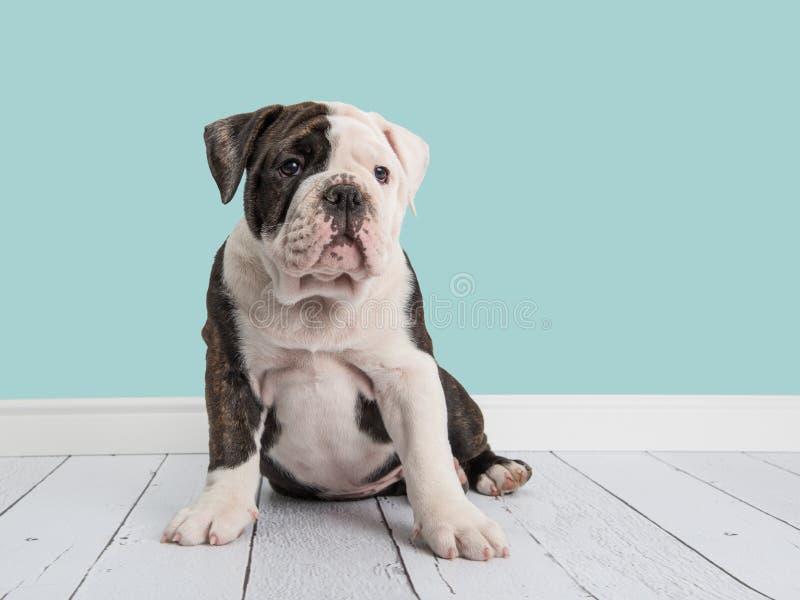 逗人喜爱的在客厅设置的开会英国牛头犬 免版税库存照片