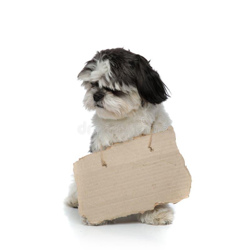逗人喜爱的在脖子坐附近的shih tzu佩带的纸盒标志 图库摄影