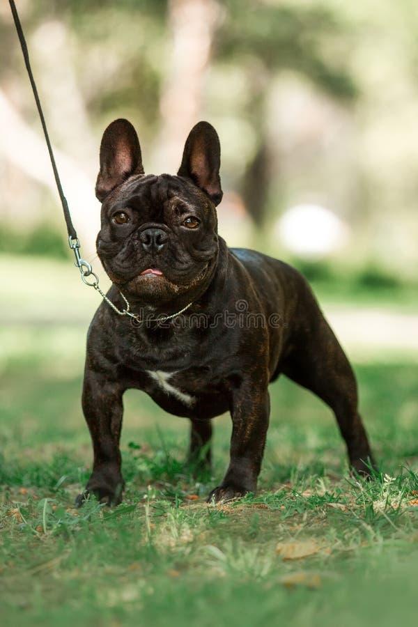 逗人喜爱的在草的画象黑色小法国公牛狗逗留 背景的绿色公园 库存照片