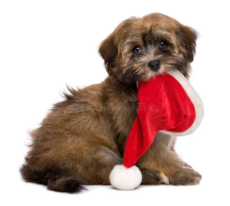 逗人喜爱的坐的Havanese小狗在她的嘴保留一个圣诞老人帽子 免版税库存照片